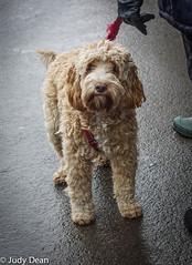 Dogs at the hunt 4 (judy dean) Tags: 2018 hunt meet newyear stowonthewold judydean