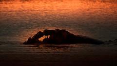 Hippopotamus Silhouette (Hernan Linetzky Mc-Manus) Tags: savannah savana southafrica africa sudafrica animal safari natgeo ng wild camp manyeleti limpopo honeyguide linetzky big5 nikon nature mammal animals wildlifephotography pilanesberg nikonphotography photos wildanimals africannature naturaleza salvaje hippopotamus silhouette hippo
