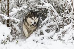 Playing hide and seek! (karindebruin) Tags: thenetherlands nederland zuidholland voorneputten dog snow sneeuw hellevoetsluis ravensehout hond