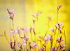 Flower (MelindaChan ^..^) Tags: flower plant art chanmelmel mel melinda melindachan gyeongju skorea 韓國 慶州