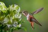 More Sparkle (Patricia Ware) Tags: allenshummingbird alstroemeria birdsinflight california canon ef500mmf40isusm fullframe manhattanbeach selasphorussasin tripod httppwarezenfoliocom ©2017patriciawareallrightsreserved specanimal