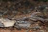Beaked Gecko (Rhynchoedura ormsbyi) near Menindee, Outback NSW (pspradbrow) Tags: reptile peterspradbrowwildlifephotography lizard menindee outbacknsw gecko rhynchoeduraormsbyi