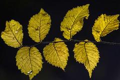 colores de invierno (Aristides Díaz) Tags: hojas bosque macro otoño ramas fotografiaartística lagunasdelpadul granada andalucía sigmaaf400f56apotelemacro