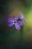 remembering the autumn (e27182818284) Tags: kiron28mmf20mc macrotubes flower blume tropfen droplets