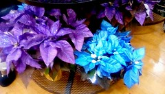 Purple and blue Poinciettas??? 365/45 (Maenette1) Tags: poinsettas flowers christmas purple blue jacksfreshmarket menominee uppermichigan flicker365 michiganfavorites project365