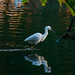 Snow Egret Wading