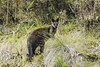 Wild Wallaby (whereiscarmensd) Tags: animal wallaby animals australia wild wildlife travel outdoors park forest hiking hike nationalpark nature natural marsupial dandenong ranges national melbourne tremont ferntree fern tree gully