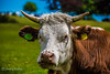 Horned (JKmedia) Tags: horns cow farm animal hampshire boltons gate new forest face portrait tag ear boultonphotography 2017