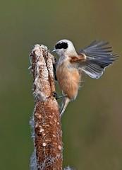 Penduline Tit 1 (dcweather) Tags: nikon nikond500 sigma150600mm tits cotswolds birds nature