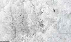 Lapinpöllö (mattisj) Tags: aves birds eläimet fåglar greatgreyowl kelttu kemi–tornionseutu lapinlääni lapinmaakunta lapinpöllö linnut luonnonilmiöt maisema pöllölinnut pöllöt strigidae strigiformes strixnebulosa suomi tornio vuodenajat kuura talvi lappuggla
