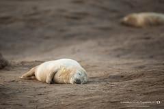 (jonathan_ed1984) Tags: seal sealpup greyseal commonseal atlanticgreyseal mammal donnanook lincolnshire lincs eastcoast nature wildlife wildlifephotographer wildlifephotography britishwildlife british native uk britain november 2017 winter jonathanwintlephotography canon 5dmkiii 5d3 500f4