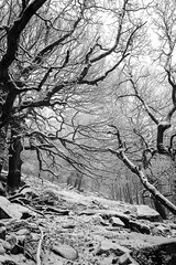Trees (l4ts) Tags: landscape derbyshire peakdistrict darkpeak snow winter trees gardomsedge blackwhite monochrome mist lowcloud