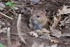 Rat - Langford Lakes 5* (Richard Bradshaw1) Tags: rat cute ngc npc