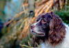 Mollie watching Jus as she trims back some of the dead plants. (TrevKerr) Tags: dog d3s englishspringerspaniel spaniel springer
