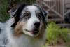 Dreaming of Christmas (Jasper's Human) Tags: aussie australianshepherd bluemerle