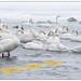 Wilde zwanen - Whooper swans (Cygnus cygnus) in Lake Kussharo, Hokkaido in Japan ...