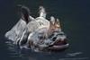 Panzernashorn (Roman Achrainer) Tags: panzernashorn tiere tierpark hellabrunn nashorn wasser rhinoceros