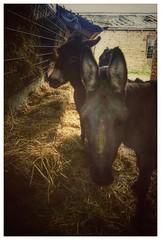 Have a peaceful Christmas all :-) (jimea) Tags: donkeys