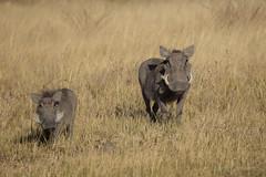 2016 06 28 phacocerus africanus@moremi-3467 (- Stefano Benedetto -) Tags: phacocerusafricanus moremi okavangodelta botswana africa wildnature wildlife