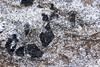 Staurolite-muscovite schist showing schistosity going around staurolite porphyroblasts (peterwallace2) Tags: swnova cambrian schist