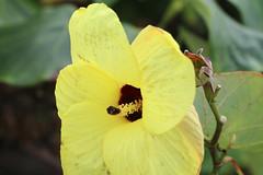 Hibiscus tiliaceus 1901 (Mike Bayly) Tags: taxonomy:binomial=hibiscustiliaceus geo:country=australia hibiscus hibiscustiliaceus malvaceae coastcottonwood cottonwoodhibiscus arfp nswrfp qrfp lowlandarf littoralarf galleryarf arfflowers yellowarfflowers
