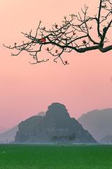 DSCF0429.Hanoi (DAO HA) Tags: hoamộcmiên ảnhphongcảnh hoagạo núithẳm mountain hoànghôn cánhđồnglúa cánhđồng fujifilm bầutrời sky landscapes làngquêviệtnam nôngthônviệtnam miền bắc việt nam photography ửnghồng