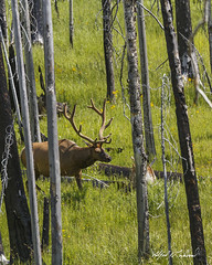 Travelling Elk_T3W0651 (Alfred J. Lockwood Photography) Tags: alfredjlockwood nature wildlife mammal elk bull velvet antlers forest trees grasses yellowstonenationalpark wyoming afternoon summer