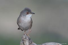 _SEN4292-E (Sento74) Tags: currucacabecinegra sylviamelanocephala aves birds fauna nikond500 tamron150600