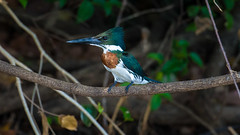 Amazon Kingfisher (Ruedi Staehli) Tags: amazonkingfisher eisvogel vogel matogrosso brazil br bird birding perching kingfisher beautiful glossy nature wildlife