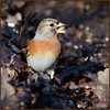 Brambling (image 3 of 3) (Full Moon Images) Tags: rspb sandy lodge thelodge wildlife nature reserve bedfordshire bird brambling