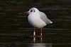 White J4U2. (stonefaction) Tags: black headed gull ringed swannie ponds dundee scotland birds nature wildlife
