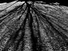 black tree (heroyama) Tags: tree shadow light monochrome bw blackwhite shadows lights japan contrast gravel
