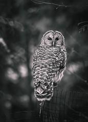 Barred Visitor (Cheryl ~) Tags: barred owl predator raptor blackandwhite