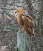 Fleeting Glimps (Barn Owl) (The Owl Man) Tags: owl barnowl boundarybay roosting dusk fence post