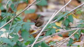 a Little wren hidding in the leaves / un troglodyte dans les feuilles