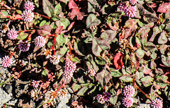 Pink Knotweed Close-up (wyojones) Tags: hawaii hawaiivolcanoesnationalpark chainofcratersroad luamanucrater persicariacapitata pinkknotweed japaneseknotweed pinkbubblepersicaria nonnative invasive ornamentalplant plant flower wildflower