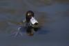 Tufted Duck (kearneyjoe) Tags: tufted duck