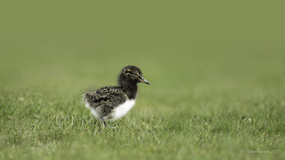 New to the world- Magellanic Oystercatcher