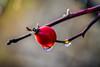 Goutte à goutte (watbled05) Tags: bokeh hautesaples plante macro exterieur eau fruit profondeurdechamps