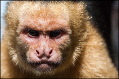 Are you looking at me? (G. Postlethwaite esq.) Tags: capucin costarica dof manuelantonio nationalpark beyondbokeh bokeh centralamerica deathstare depthoffield monkey photoborder selectivefocus whitefaced
