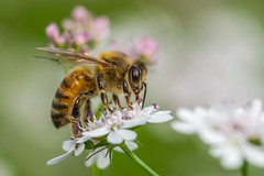 Bee (mon_ster67) Tags: insect bee macro mon ©mon closeup macrophotography flower garden canon canoneos ef100mmf28lmacroisusm t5i canoneosrebelt5i pollen