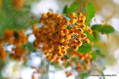 Beeren (grafenhans) Tags: konica minolta dynax maxxum 7d dslr af 1750 makro macro beeren bokeh farben grafenwald bottrop nrw natur