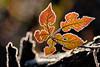 Frozen nature (STE) Tags: gelo frost frosty foglia leaf inverno winter freddo cold ghiaccio ice fuji fujifilm xt20 luce light frozen galaverna bokeh