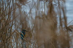 Lucky Day (Tim Camin) Tags: kingfisher king fisher alcedo atthis eisvogel bird water wildlife vogel wasser nature natur