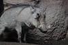 African Warthog (TW Olympia) Tags: boar warthog woodland park zoo