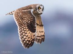Short-eared Owl (bbatley) Tags: shortearedowl owl