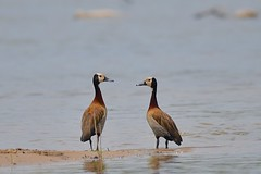 Romance on the Kafue River (cirdantravels (Fons Buts)) Tags: duck whistlingduck pfeifgans dendrocygne dendrocygna anatidae anseriformes kafue kaingusafarilodge coth5 cirdantravels fonsbuts