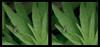 I'm Green with Envy 1 - Crosseye 3D (DarkOnus) Tags: condylostylus caudatus longlegged fly im green with envy diptera pennsylvania buckscounty panasonic lumix dmcfz35 3d stereogram stereography stereo darkonus closeup macro insect crossview crosseye inexplore explored
