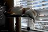 Waiting for Spring (Trevdog67) Tags: cat male tomcat window blinds peek peeking winter cold outside windchill yearning waiting weather venetian moncton newbrunswick nouveaubrunswick canada nikon d7500