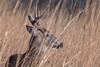 SideOfPoker (jmishefske) Tags: wehr december nikon nature d500 center whitnall milwaukee franklin antler wildlife rack wisconsin park 2017 buck deer whitetail